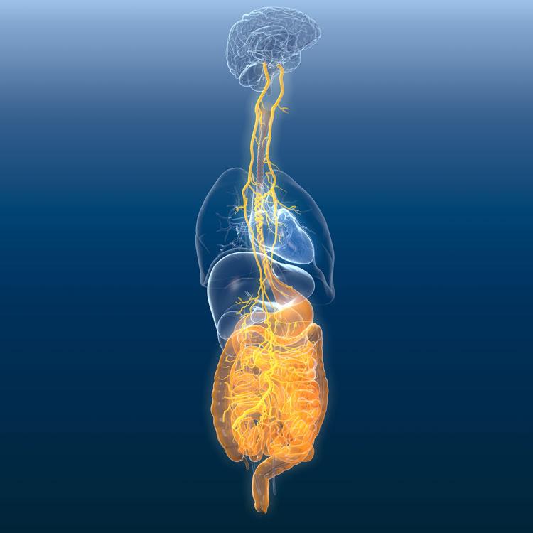Wissenschaftler vermuten, dass Proteine vom Darm über den Vagusnerv ins Hirn gelangen.